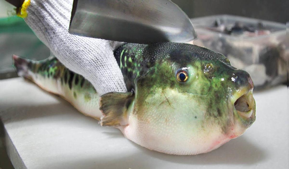 Pez fugu una delicia gourmet peligrosa